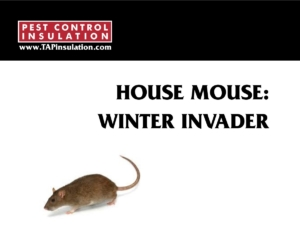 House Mouse - Winter Invader