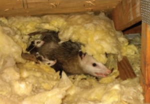 Opossums in the Attic