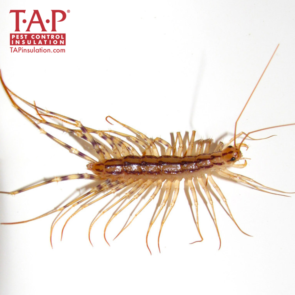 Common House Centipede