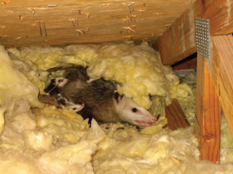 Possum Family in Insulation